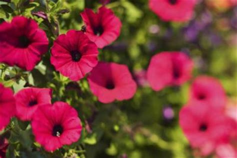 how to cut back my petunias to make them bloom more home