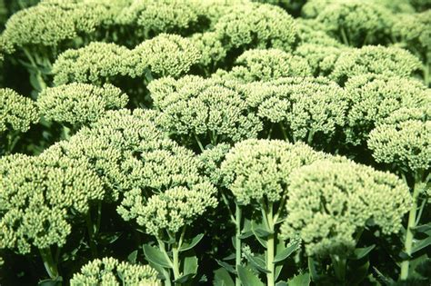 Sedum Spectabile Antium Joy Photos, Design, Ideas, Remodel, and Decor Lonny