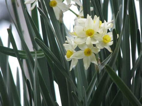 narcisi fiori narcisi fiori fiori di piante narcisi fiori