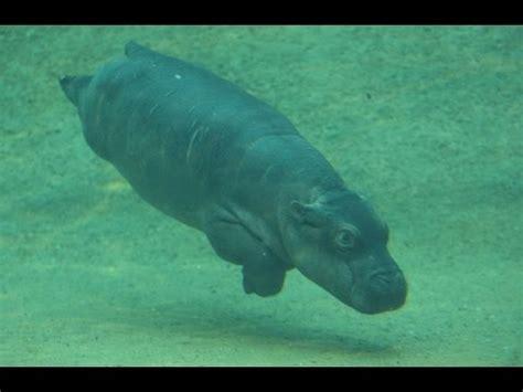 Baby Wear Hippo Swim baby hippo learns to swim