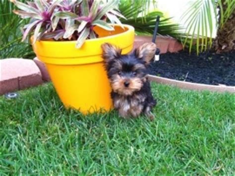 Teacup Yorkie Puppies For Adoption Boone Offer Boone Pets Dogs