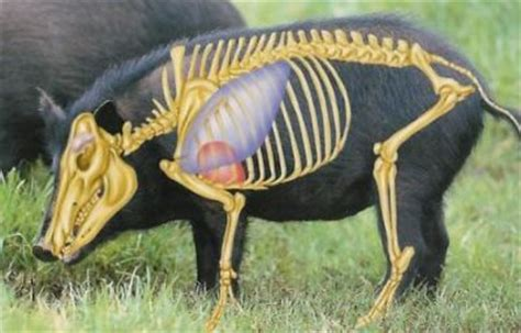 feral hog anatomy | stuff from hsoi