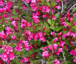 jen halbesma design s blog top flowering shrubs