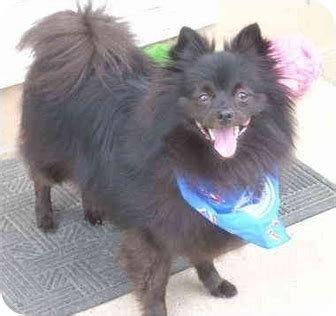 schipperke pomeranian mix schipperke info temperament diet puppies pictures