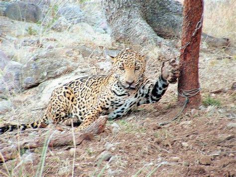 jaguar seen in area of cochise arizona lgf pages