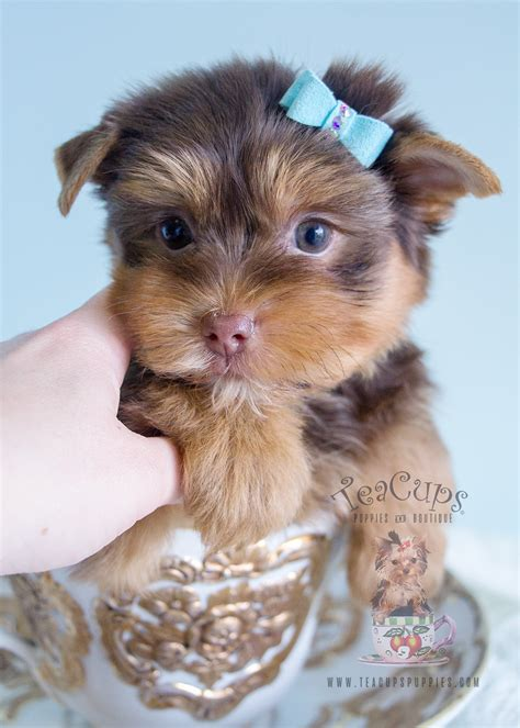 can a yorkie be a service bulldog puppy for sale south florida teacups puppies boutique