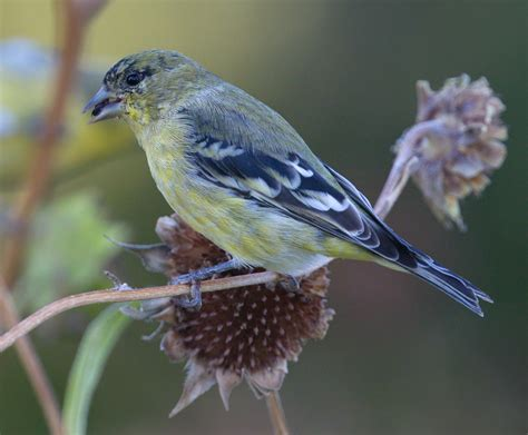 lesser goldfinch san diego bird spot