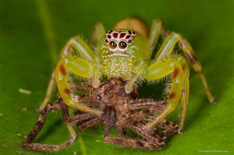 Garden Spider Family Name Green Jumping Cannibal Spiders Mopsus Mormon