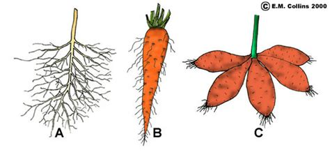 Names Of Modified Roots by Vegetative Terminology Part 1