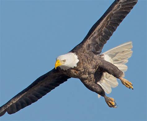 five majestic views of bald eagle birdwatching