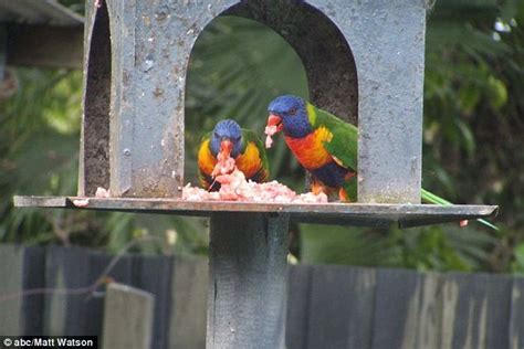 griffith university s study into vegetarian birds spurred