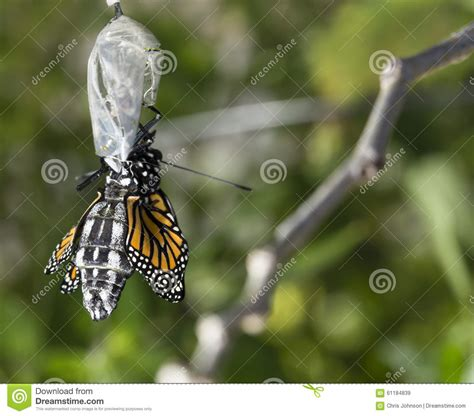 wings emerging from troubled times with new and deeper wisdom books up of monarch butterfly emerging cocoon stock photo