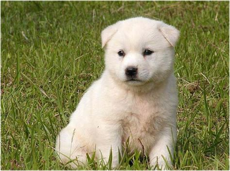 jindo puppies price korean jindo facts pictures puppies personality price breeders animals breeds