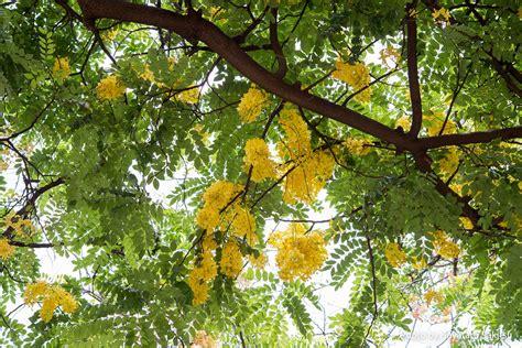 Shower Tree Hawaii by