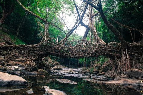 what is root bridge living root bridge mawlynnong reviews information