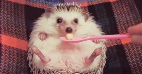 the cutest meet azuki the cutest hedgehog from japan bored panda