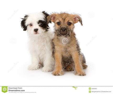 mixed breed puppies for free two mixed breed puppies royalty free stock photography image 23265927
