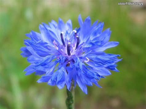 bachelor s button flower