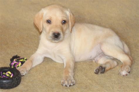 labrador puppy at home photograph by phelps