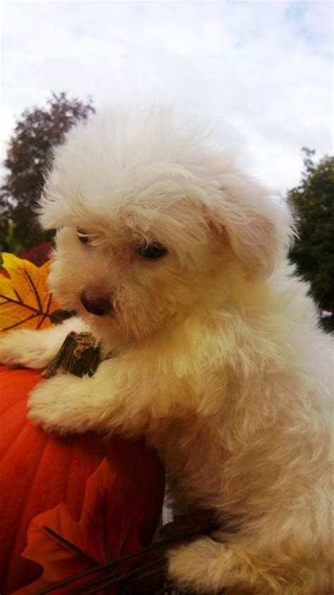 havanese and maltese 76 best images about fluffy white animals on
