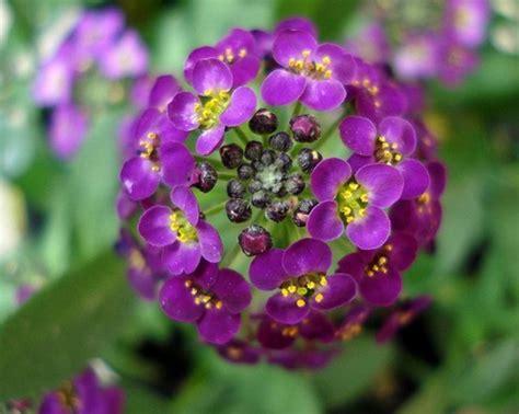 Biji Bunga Sweet Alyssum fakta arti dan makna bunga alyssum lobularia maritima