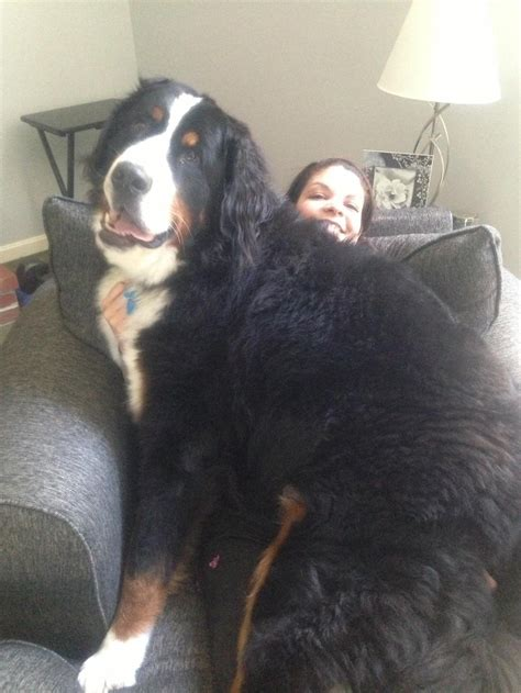reddit dogs 9 big dogs who think they re small dogs