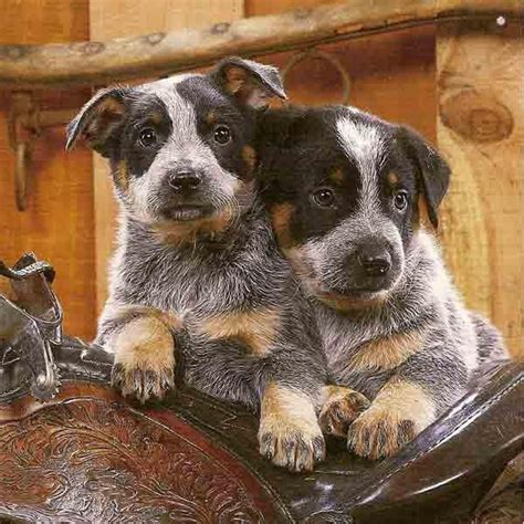 and blue heeler puppies blue heeler puppies my style