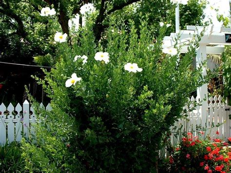 Coulter Gardens by Plantfiles Pictures Coulter S Matilija Poppy California