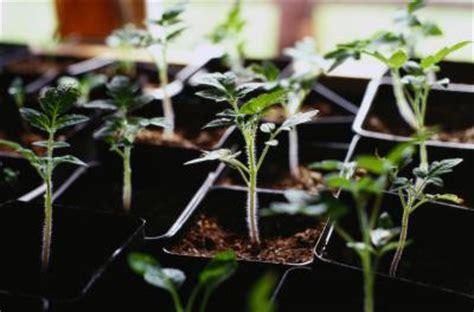 Läuse An Tomaten 5263 by Diferentes Etapas Crecimiento De Una Planta De Tomate