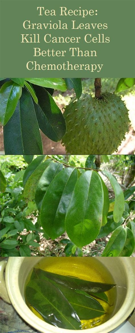 guyabano research paper 8 best images about graviola soursop on trees
