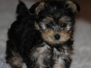 yorkie poo size and weight yorkie poo puppy puppies for sale