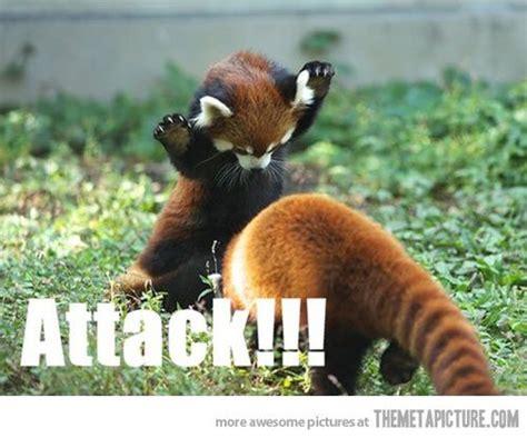 Red Panda Meme - funny red panda playing attack animal stuff pinterest