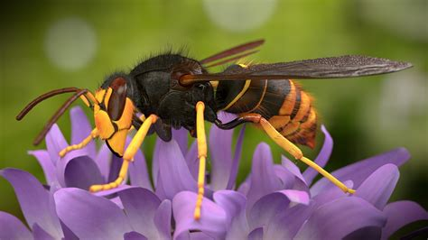 Asian Giant Hornet - Pictures, Diet, Breeding, Life Cycle ...