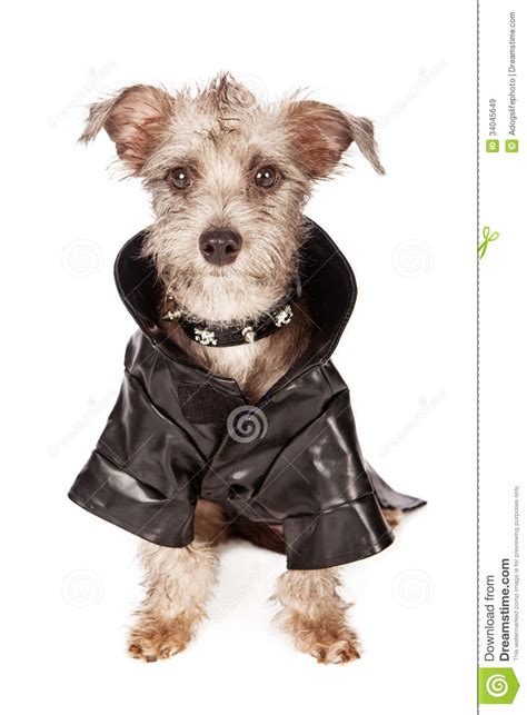 black spikey fur dog terrier dog with spiked collar and leather jacket stock