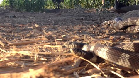 serpientes apareandose lampropeltis getula californiae youtube