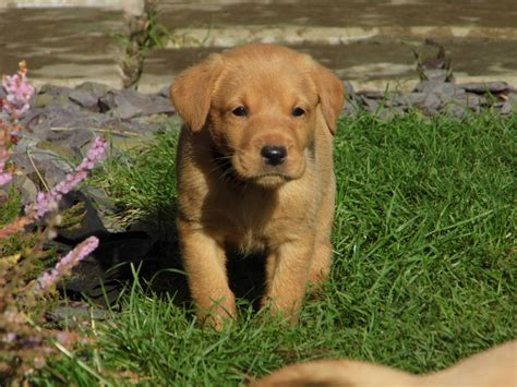 fox labrador puppies stunning litter of fox labrador puppies hull east of pets4homes