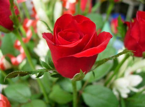un jardin de rosas rojas regalar rosas por san valent 237 n plantas