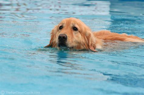 golden retriever exercise golden retrievers and swimming web about golden retriever
