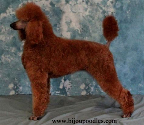 standard poodle puppies michigan standard poodle michigan photo