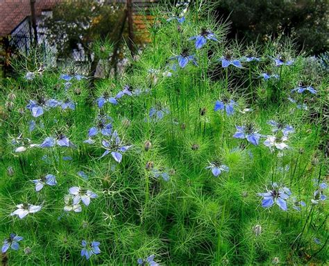 In A Mist Nigella Damascena planting the seeds of easy care nigellas san francisco chronicle