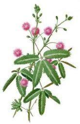 P W Gambar Putri Tidur grassi hijau ketahui manfaat tanaman putri malu