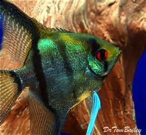 angelfish swimming angelfish angelfish fishtank fishies tropical