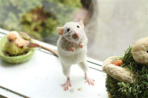 the cutest 13 adorable rat pics proving that they can be the cutest pets