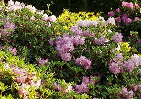 vorgartenbepflanzung drei vorschl 228 ge stauden rosen