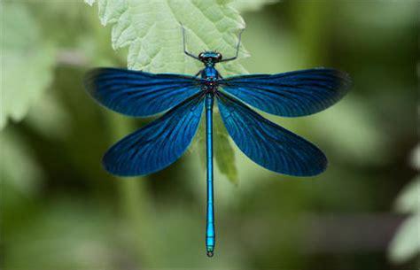 imagenes uñas decoradas libelulas alas iberian odonata