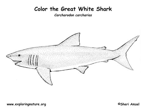 shark great white coloring page exploring nature