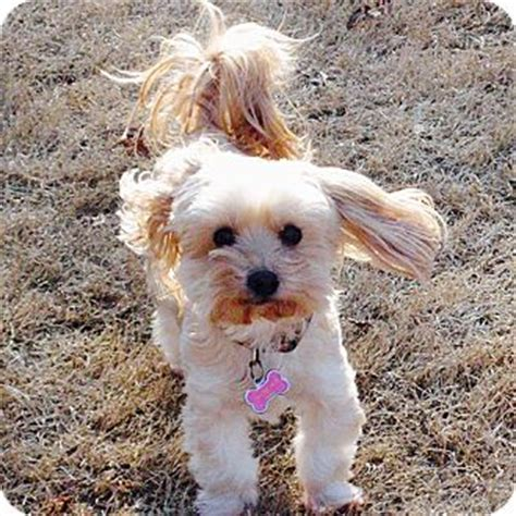 yorkie rescue ga adopted athens ga yorkie terrier maltese mix