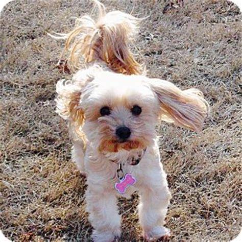 yorkies for adoption in ga adopted athens ga yorkie terrier maltese mix
