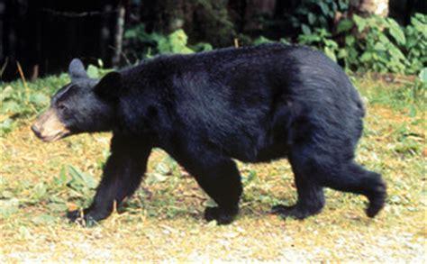 ursus americanus (pallas); black bear