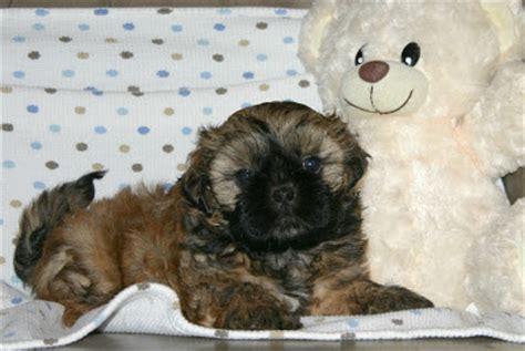 shih tzu puppies for sale in richmond va growing puppies virginia schnoodle breeder hypoallergenic dogs shih tzu puppies